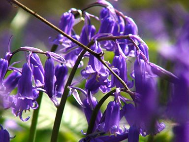 bluebells-darker