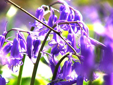bluebells-linear